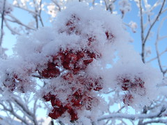 Snow Flakes ....  View Large (Mr. Happy Face - Peace :)) Tags: art2016 patriciabechthold quotes tree mountainash berries red cold arcticair winter season frost snowflake