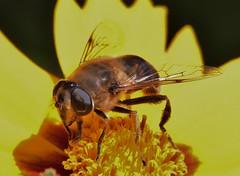 Mistbiene (Hugo von Schreck) Tags: eristalistenax hugovonschreck canoneos5dmarkiii mistbiene macro makro insect insekt outdoor tamronspaf180mmf35dildifmacro11