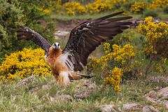 Gypaetus barbatus (Oliveira Pires) Tags: gypaetusbarbatus quebraossos britaossos quebrantahuessos lammergeier vulture beardedvulture