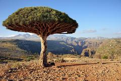 Long Dragon Blood Tree (indomitablemachine) Tags: dixam rokeb canyon dragonblood firmhin hut plateau socotra yemen hadhramautgovernorate ye