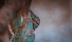 looking back (tomi1302 www.tomiburcul.com) Tags: canon croatia chameleon animal 650d tamron 90mm naturallight zadar closeup lizard