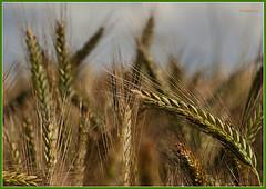 Kornfeld - Grain field (Karabelso) Tags: nature fruits field macro natur frucht feld makro panasonic gx7