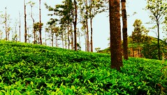 Tea Garden Ooty...Incredible India (Selva Rangam) Tags: outdoor tea garden teagarden incredibleindia india ooty greenary nature hilltop flushgreen greeny greeneverywhere