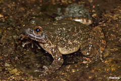 Quasipaa spinosa 棘胸蛙 Giant spiny frog (Cheng Wenda) Tags: quasipaa spinosa 棘胸蛙 giant spiny frog female