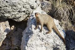 Banded mongoose (thewildlifephotographer) Tags: mongoose