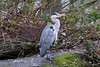 Grey Heron (NTG's pictures) Tags: reddish vale stockport cheshire grey heron