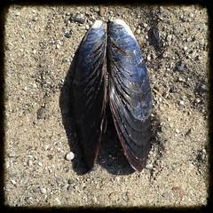 Bivalvia (melystu) Tags: design pattern outdoor marin nature shell mussel bivalve blue two sand beach shore coastal ca closeup geotagged stinsonbeach