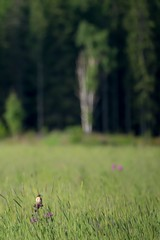 In the domain of the whinchat 1 (pakerholm) Tags: whinchat buskskvätta saxicolarubetra saxicola sigma150600 sigma150600f563dgsports sigma150600mmf563 sigmasport sigma 150600 600 ornithology birdwatchingnikon d600 d610 nikond600 nikond610 fullframe fullformat birds bird fågel fåglar linnut lintu wildlife animals vildadjur pörtom finland österbotten suomi pirttikylä ostrobotnia pohjanmaa nordiccountries norden summer