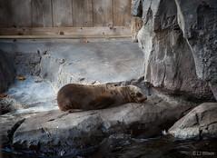 California Sea Lion (Lora J Photography) Tags: 2016 californiasealion fonz nationalzoo newbaby