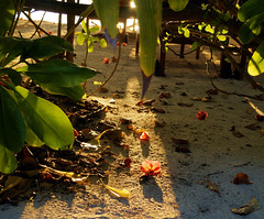 Scattered flowers (Rob Hall -) Tags: flowers petals red shadows shadow sun sunshine glare bright sand beach leaves green foliage shine sea seashore seaside outdoors beauty nature sony a58