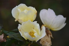 November roses (Tobyotter) Tags: roses flowers