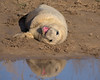 grey seal pup (steveellis35) Tags: grey seal pup laughing reflction donna nook