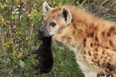 Hyena with pup (K.Verhulst) Tags: hyena spottedhyena gevlektehyena pup pups blijdorp blijdorpzoo diergaardeblijdorp rotterdam hyenapups