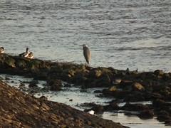 RSPB Rainham Marshes (philm54) Tags: bird heron foreshore