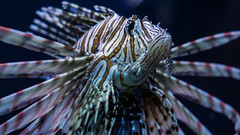 Venomous Beauty (danielledufour430) Tags: nature wildlife ocean sea underwater fish lionfish venomous animal