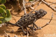 Chamaeleo namaquensis -Namaqua Chameleon. (Tyrone Ping) Tags: chamaeleo namaquensis namaqua chameleon fromnamibdesert namibiahttpwwwtyronepingcozachameleonschamaeleonamaquensis wwwtyronepingcoza chameleons africa african namibia namib canon canon7d 100mmmacrof28 close up macro wild wildherps herps herpetology herping