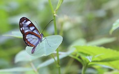 Posse (HSOBERON) Tags: butterfly endor endorinc green hernansoberon hsoberon mariposa natura natural norebos guarne 7cueros