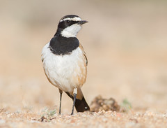 Capped Wheatear (Oenanthe pileata) (George Wilkinson) Tags: oenanthepileata capped wheatear bird avian wildlife canon 7d 400mm south africa goegap nature reserve northern cape