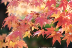 Japanese Maples 4 (frattonparker) Tags: raw lightroom6 btonner frattonparker japanesemaple acer autumn fall dof isleofwight nikond600 nikkor50mmf18