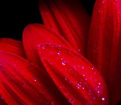 Petals in the rain (Cherry G Swanson) Tags: flower flowers nature water wet spring petals petal red flickr canon macro dof depthoffield rain garden color colour colors colours