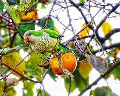 I'ts Pappa Time (al.scuderi71) Tags: pappa time parrot pappagallo panasonic panasonicgh4 manual focus trees autumn autunno pspx8 perfect effects silkypix mangiare eat food