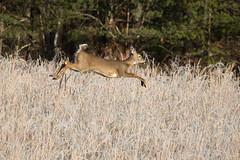Cold Feet (Longleaf.Photography) Tags: deer doe cadescove gsmnp townsend tn wildlife frost rut smokies
