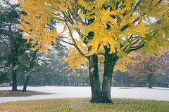 東京初雪 (TKBou) Tags: japan tokyo snow ginkgo 日本 東京 雪 銀杏 初雪 風景 scenery photographer フォトグラファー instagood instalike like4like 写真好きな人と繋がりたい ファインダー越しの私の世界 d700 nikon 黄葉