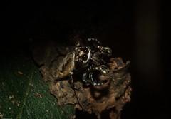 Paraphilaeus daemeli (dustaway) Tags: arthropoda arachnida araneae araneomorphae salticidae paraphilaeusdaemeli jumpingspider australianspiders rprr rotarypark rainforest lismore northernrivers nsw australia nature
