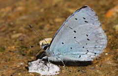 Holly Blue 060816 (2) (Richard Collier - Wildlife and Travel Photography) Tags: butterflies british wildlife naturalhistory macro hollyblue insects