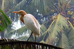 DSC07379 (Peripatete) Tags: bali ubud petulu nature birds travel tourism