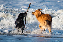 I have it (Flemming Andersen) Tags: animal outdoor seaside dogs hund nature sand water bedstedthy northdenmarkregion denmark dk