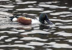 Shoveler (1) (grahamh1651) Tags: helstonboatinglake birds gulls ducks geese waterbirds swans