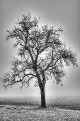 Ein Baum im Nebel (eignerchristian) Tags: baum nebel grau alt