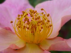 Blüten-Tentakel (Jörg Paul Kaspari) Tags: summer flower fleur rose sommer rosa blüte trier chinensis 2015 rosenblüte staubblätter staubblatt schmetterlingsrose blütenzentrum gemeinschaftsgarten rosachinensismutabilis´ mutabilis´