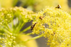 "SCENE 2 PLAN 1  ""SEX ORGY"" (MARIDAKIS LEFTERIS) Tags: 7d 2015 λουλουδι κιτρινο μακρο εντομα"