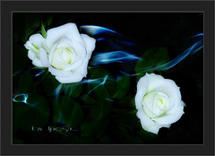 White Roses in my Dream.......:-).....Faves STOP !!! (ljucsu) Tags: flowers roses may orton mayflowers flowermacro rosemacro whiteroses mayroses