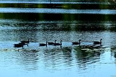 082015-793F (kzzzkc) Tags: blue shadow usa water silhouette geese nikon ripple missouri leessummit wildlifearea d7100 jackrabbitlake jamesareedmemorial