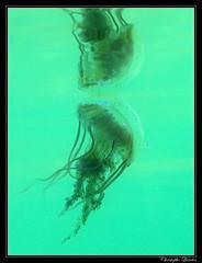 Chrysaora hysoscella (cquintin) Tags: chrysaora cnidaria scyphozoa semaeostomeae pelagiidae hysoscella medusozoa