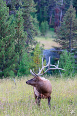 2E9A1729 (lee scott ) Tags: usa nature animal outdoors wildlife yellowstone critters wyoming elk nationalparks leescott usnationalpark rightsmanaged rightmanaged leescottphotography lightsourcephotographybyleescott