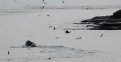 Whale Watchers Anonymous (clairehintze) Tags: ocean humpbackwhale kayakers nikond700 mitchellscovesantacruzca