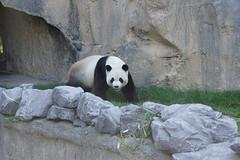 Xing Hui (星徽) 2015-10-01 (kuromimi64) Tags: bear zoo europe panda belgium belgique belgië giantpanda 動物園 パンダ 熊 熊猫 hainaut ヨーロッパ クマ cambroncasteau 大熊猫 ベルギー brugelette ジャイアントパンダ xinghui pairidaiza ブリュージュレット エノー 星徽