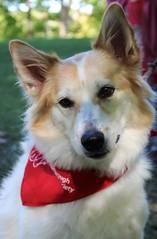 In My Eyes (Explored) (ATouchofCrazy) Tags: dog explore cutedog whitedog dogportrait brownandwhitedog explored hairydog dogofflickr friendsforlifewalk