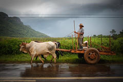 Afternoon rain (Lil [Kristen Elsby]) Tags: travel topf25 topv1111 cuba streetlife editorial farmer dailylife agriculture vinales travelphotography documentaryphotography vinalesvalley westerncuba valledevinales canon5dmarkii