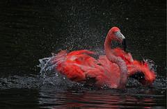 Badespa (Erwin Lorenzen) Tags: red rot animal zoo wasser flamingo breathtaking tier vogel wassertropfen avianexcellence canoneos5dmarkii breathtakinggoldaward breathtakinghalloffame dmslair