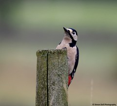 woodpecker  (4) (Simon Dell Photography) Tags: wood wild detail macro bird up pose photo woodpecker october village close post district derbyshire great peak awsome spotted pecker villager castleton 2015