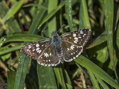 Checkered Skipper On Grass (Odonata457) Tags: county mt unitedstates howard skipper maryland common woodstock checkered pleasant conservancy pyrguscommunis
