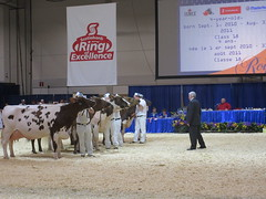 Cow palace at Royal Winter Fair (Roberrific) Tags: toronto jerseycows ringofexcellence bestcow 2015royalwinterfair jersycompetition bestinshowcows