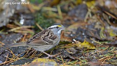 White-throated Sparrow (01) (gbeall) Tags: lake sammamish 20151115