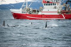 Orcas Alongside Fishing Vessel
