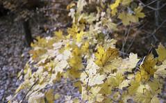 ql17_20161112_08 (sesquiotic) Tags: leaves foliage fallfoliage ontariosciencecentre canoncanonetql17giii kodakportra160asa
